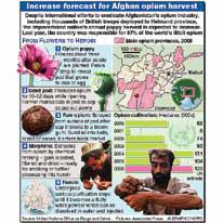 Increased opium crop forecast infographic