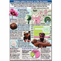 Increased opium forecast infographic