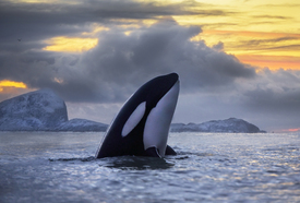 ENVIRONMENT: Orcinus orca killer whale picture 1 infographic