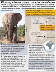 ÁFRICA: Muertes de elefantes vinculadas con bacterias infographic
