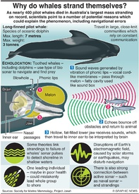 ENVIRONMENT: Why do whales strand themselves? infographic