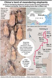 NATURE: China's herd of wandering elephants infographic