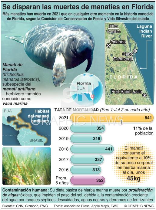 Se dispara la tasa de muertes de manatíes en Florida infographic