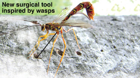 HEALTH: New surgical tool inspired by wasps video infographic