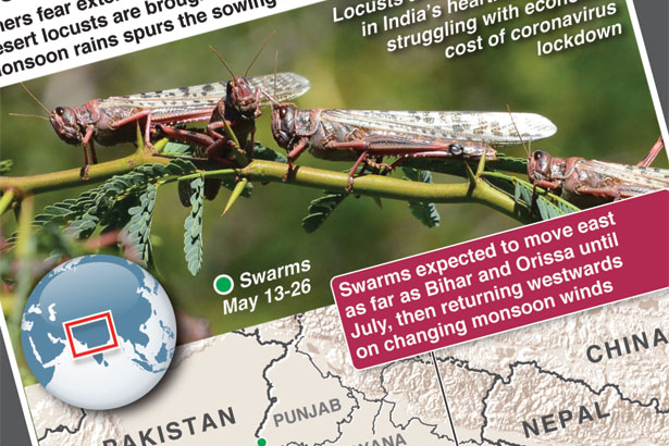 Locust swarms destroying crops in India