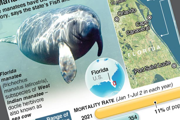 Florida manatees dying in unprecedented numbers